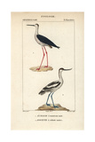 Stilt And Avocet From Sainte-Croix's Dictionary of Natural Science: Ornithology  Paris  1816-1830