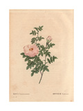Ventenat's Rose with Pale Pink Flowers (Rosa Ventenatiana)