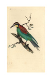 Bee-eater From Edward Donovan's Natural History of British Birds  London  1809