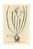 Star of Bethlehem  Ornithogalum Umbellatum  From W Baxter's British Phaenogamous Botany  1834