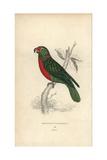 Red-naped Parrakeet