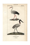 White Stork And Jabiru From Sainte-Croix's Dictionary of Natural Science: Ornithology
