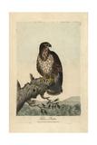 Common Buzzard  Falco Buteo  Buteo Buteo