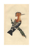 Common Hoopoe From Edward Donovan's Natural History of British Birds  1799