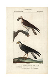 Osprey And Caracara From Sainte-Croix's Dictionary of Natural Science: Ornithology