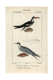 Black Skimmer And Tern From Sainte-Croix's Dictionary of Natural Science: Ornithology