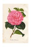 Pink Camellia Olivetana