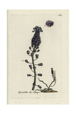"Tassel Hyacinth  Muscari Comosum  From Pierre Bulliard's ""Flora Parisiensis "" 1776  Paris"