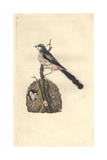 Long-tailed Titmouse From Edward Donovan's Natural History of British Birds  London  1799
