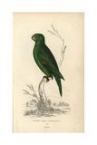 Golden Green Parakeet