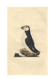Atlantic Puffin From Edward Donovan's Natural History of British Birds  1799