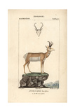 Pronghorn Antelope From Frederic Cuvier's Dictionary of Natural Science: Mammals  Paris  1816