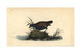Moorhen From Edward Donovan's Natural History of British Birds  London  1799