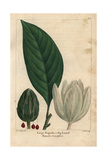 Large Magnolia Tree From Michaux's North American Sylva  1857