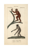 Orangutan And Silvery Gibbon From Frederic Cuvier's Dictionary of Natural Science: Mammals