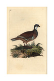 Red-legged Partridge From Edward Donovan's Natural History of British Birds  London  1809