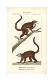 White-headed Lemur From Frederic Cuvier's Dictionary of Natural Science: Mammals  Paris  1816