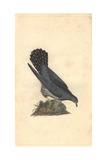 Common Cuckoo From Edward Donovan's Natural History of British Birds  1799