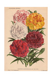 Various Carnations Or Pinks