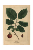 Persimmon Tree From Michaux's North American Sylva  1857