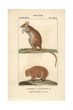 Potoroo And Wombat From Frederic Cuvier's Dictionary of Natural Science: Mammals  Paris  1816