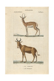 Corine And Bubal Hartebeest From Frederic Cuvier's Dictionary of Natural Science: Mammals