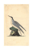 Common Tern From Edward Donovan's the Natural History of British Birds  1799