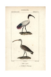 Sacred Ibis And Curlew From Sainte-Croix's Dictionary of Natural Science: Ornithology