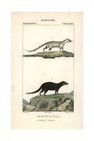 Genet And Water Mongoose From Frederic Cuvier's Dictionary of Natural Science: Mammals