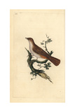 Nightingale From Edward Donovan's Natural History of British Birds  London  1799