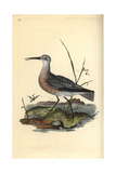 Little Curlew From Edward Donovan's Natural History of British Birds  London  1816