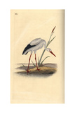 White Stork From Edward Donovan's Natural History of British Birds  London  1817