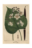 Catalpa Tree From Michaux's North American Sylva  1857