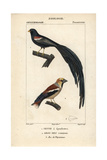 Widowbird And Hawfinch From Sainte-Croix's Dictionary of Natural Science: Ornithology