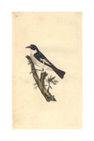 Pied Flycatcher From Edward Donovan's Natural History of British Birds  1799