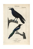 Raven And Magpie From Sainte-Croix's Dictionary of Natural Science: Ornithology  Paris  1816-1830
