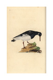 Oystercatcher From Edward Donovan's Natural History of British Birds  London  1799