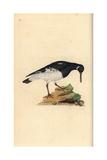 Oystercatcher From Edward Donovan's Natural History of British Birds  London  1799