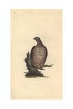 European Honey Buzzard From Edward Donovan's Natural History of British Birds  1799
