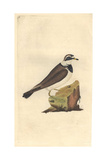Sea Lark From Edward Donovan's Natural History of British Birds  London  1799