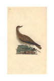 Golden Plover From Edward Donovan's Natural History of British Birds  1799