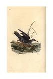 Purple Sandpiper From Edward Donovan's Natural History of British Birds  London  1817