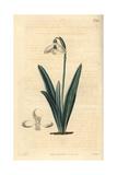 Clusius' Snowdrop  Galanthus Plicatus