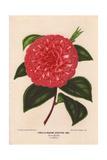 Scarlet Camellia Madame Rudolphe Abel