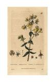 St John's Wort  Hypericum Perforatum  From William Baxter's British Phaenogamous Botany  1834