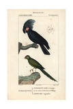 Palm Cockatoo And Ground Parrot From Sainte-Croix's Dictionary of Natural Science: Ornithology