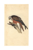 Kite From Edward Donovan's the Natural History of British Birds  1799