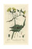 Sow-thistle  Sonchus Oleraceus  From William Baxter's British Phaenogamous Botany  1835