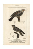 Tawny Frogmouth And Nightjar From Sainte-Croix's Dictionary of Natural Science: Ornithology