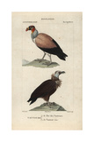 King And Cinereous Vultures From Sainte-Croix's Dictionary of Natural Science: Ornithology